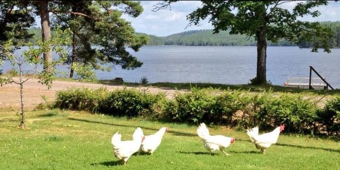 hønene på Kyrkudden sommeren 2013